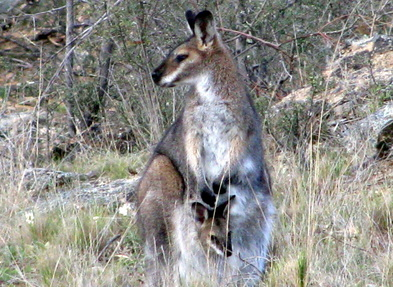 Wallabia bicolor, swamp wallaby, black wallaby